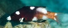 Axilspot Hogfish_Sub adult_Bodianus Axillaris_Wrasse_Labridae