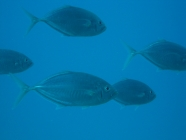 Barcheek Trevally