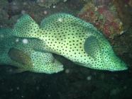 barramundi-cod-cromileptes-altivelis-seabasses-serranidae_35155