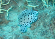 barramundi-cod-cromileptes-altivelis-seabasses-serranidae_juv_21475