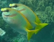barred-rabbitfish-siganus-doliatus-rabbitfishes-siganidae_3191