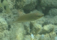 barred-rabbitfish-siganus-doliatus-rabbitfishes-siganidae_juv_9945