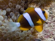 Barrier Reef Anemonefish_Amphiprion akindynos_Anemonefishes-Pomacentridae-amphiprioninae