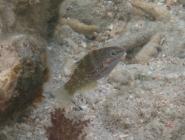 batu-coris-coris-batuensis-wrasses-labridae_juv_5256