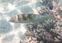 batu-coris-coris-batuensis-wrasses-labridae_tp_39950