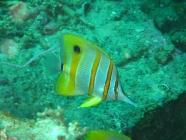 beaked-coralfish-chelmon-rostratus-butterflyfishes-chaetodontidae_35382