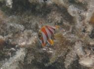 beaked-coralfish-chelmon-rostratus-butterflyfishes-chaetodontidae_juv_31206