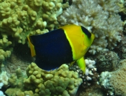 bicolor-angelfish-centropyge-bicolor-angelfishes-pomacanthidae_24126
