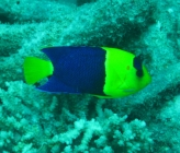 bicolor-angelfish-centropyge-bicolor-angelfishes-pomacanthidae_3668