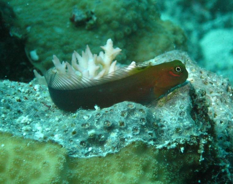 Bicolor Blenny Nautilus Scuba Club Cairns