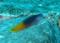 bicolor-blenny-ecsenius-bicolor-combtooth-blennies-blennidae_23925