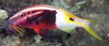 Bicolor Goatfish_Parupeneus barberinoides_Goatfishes_Mullidae