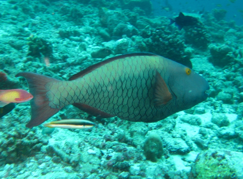 how to color parrot fish