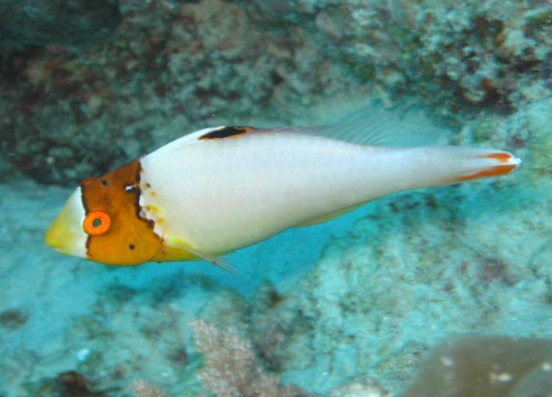 Bicolor Parrotfish 171 Nautilus Scuba Club Cairns