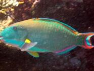 bicolor-parrotfish-cetoscarus-bicolor-parrotfishes-scaridae_14394
