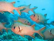bigscale-soldierfish-myriptistis-berndti-squirrelfishes-holocentridae_31533