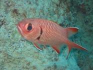 bigscale-soldierfish-myriptistis-berndti-squirrelfishes-holocentridae_34387