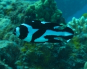 black-and-white-seaperch-macolor-niger-snappers-lutjanidae_juv_8978