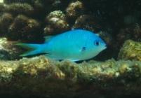 black-axil-chromis-chromis-atripectoralis-damselfishes-pomacentridae_24082