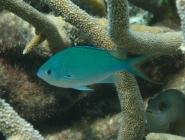 black-axil-chromis-chromis-atripectoralis-damselfishes-pomacentridae_6591
