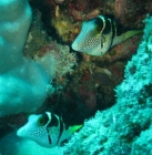 black-saddled-toby-canthigaster-valentini-pufferfishes-tetraodontidae_5730