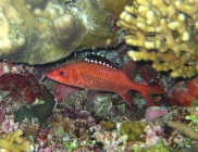 blackfin-squirrelfish-neoniphon-opercularis-squirrelfishes-holocentridae_10906