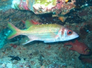 blackfin-squirrelfish-neoniphon-opercularis-squirrelfishes-holocentridae_36981