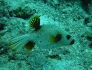 blackspotted-puffer-arothron-nigropunctatus-pufferfishes-tetraodontidae_36036