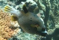 blackspotted-puffer-arothron-nigropunctatus-pufferfishes-tetraodontidae_6408