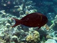 blackstreak-surgeonfish-acanthurus-nigricauda-surgeonfishes-acanthuridae_21724