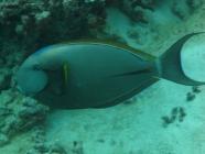 blackstreak-surgeonfish-acanthurus-nigricauda-surgeonfishes-acanthuridae_3990