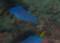 blue-devilfish-assessor-macneilli-longfins-plesiopidae_4078