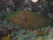 blue-spotted-rockcod-cephalopholis-cyanostigma-seabasses-serranidae_30955