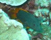 blue-spotted-rockcod-cephalopholis-cyanostigma-seabasses-serranidae_juv_15074