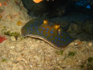 blue-spotted-stingray-taeniura-lymma-whiptail-stingrays-dasyatidae_37900