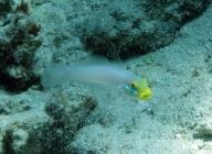 blueband-goby-valenciennea-strigata-gobies-gobiidae_3171