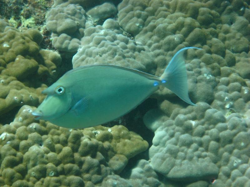 Bluespine Unicornfish Nautilus Scuba Club Cairns