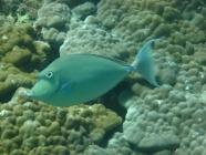 bluespine-unicornfish-naso-unicornis-surgeonfishes-acanthuridae_3210