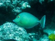 bluespine-unicornfish-naso-unicornis-surgeonfishes-acanthuridae_juv_5819