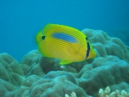 bluespot-butterflyfish-chaetodon-plebeius-butterflyfishes-chaetodontidae_21500