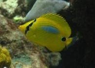 bluespot-butterflyfish-chaetodon-plebeius-butterflyfishes-chaetodontidae_23947