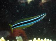 bluestriped-fangblenny-plagiotremus-rhinorhynchos-combtooth-blennies-blennidae_24088