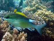 bridled-monocle-bream-scolopsis-bilineata-coral-breams-nemipteridae_24330