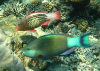 bridled-parrotfish-scarus-frenatus-parrotfishes-scaridae_39502