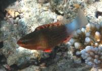 bridled-parrotfish-scarus-frenatus-parrotfishes-scaridae_juv_20546