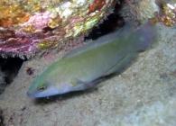 brown-dottyback-pseudochromis-fuscus-dottybacks-pseudochromidae_23422