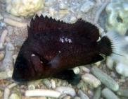 brown-sweetlips-plectorhinchus-gibbosus-sweetlips-haemulidae_juv_8811