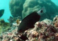 bullethead-parrotfish-chlorurus-sordidus-parrotfishes-scaridae_intp_3924