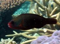 bullethead-parrotfish-chlorurus-sordidus-parrotfishes-scaridae_ip_5020
