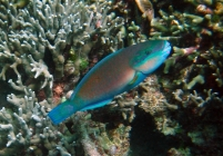 bullethead-parrotfish-chlorurus-sordidus-parrotfishes-scaridae_tp2058